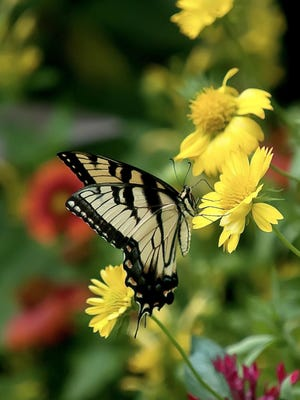 Heat It Up Yellow blanket flower will attract an assortment of pollinators such as this Eastern Tiger Swallowtail.