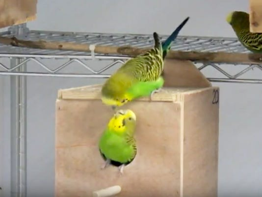 636562891652471012-parakeets-research.JPG