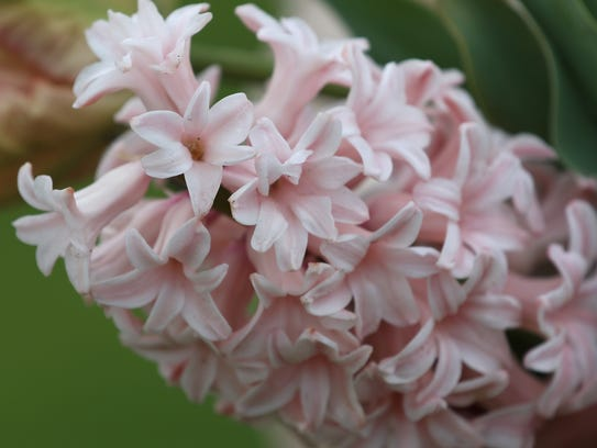 This Hyacinth is one of several different types of