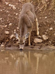 A thirsty doe drinks from a stock tank in Chatfield Canyon in Otero County.