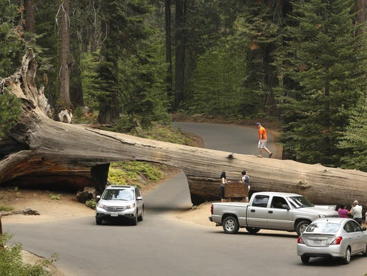 California Drought Giant Sequoias