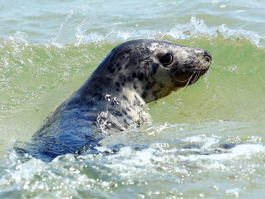 A 6-month-old female gray seal rehabbed from the Marine