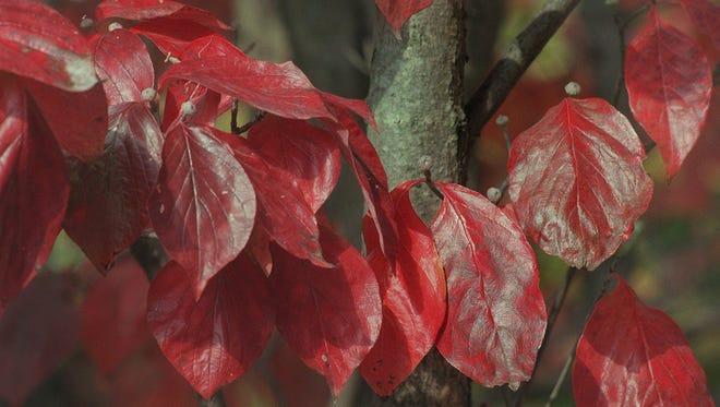 American dogwood in the fall.
