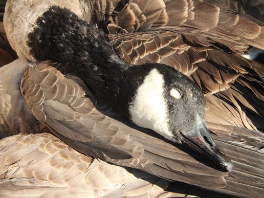 A 10-pound Canada goose taken on a hunt in Ozaukee