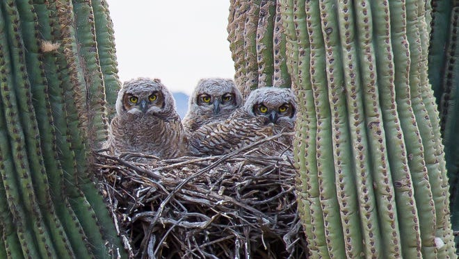 Dick Huggins discovered a parliament of very young great horned owlets nesting adjacent to the Desert Vista Trail in North Phoenix.