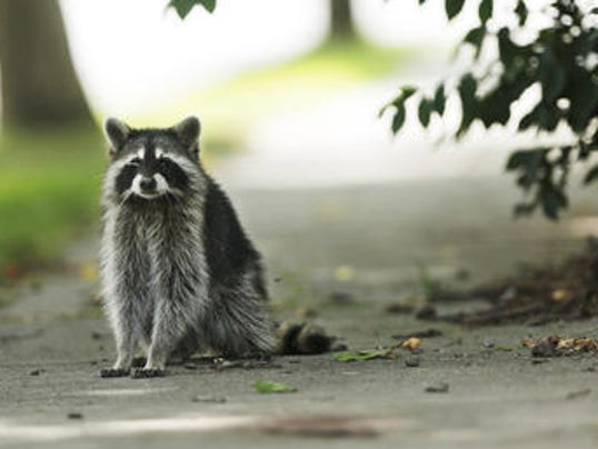 636517911189361059-raccoon.jpg