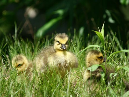 Baby geese_5925.jpeg