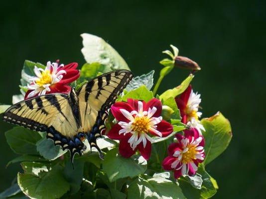 6-19-15 Roseville swallowtail dahlia photo