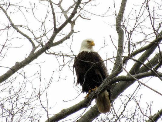 """Cindy Gaeckler Rose of Dallastown submitted this photo to the YDR Nature and Scenery gallery. Gaeckler Rose writes, """"Eagle eye."""""""