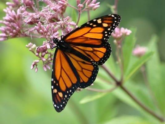 Monarch butterfly7.jpeg
