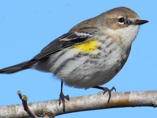 Yellow rumped Warbler a yrwarbler1 small.jpg
