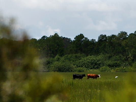 Cows make their way across a 620-acre farm in rural Collier County that environmentalists want Gov. Rick Scott to buy as conservation land. Scott McIntyre