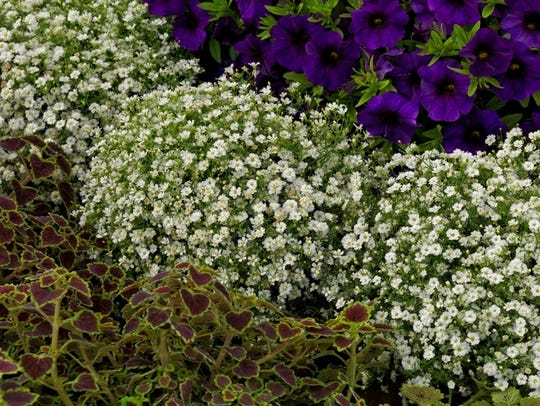 Gypsy White Improved gypsophila, an annual baby's breath-type