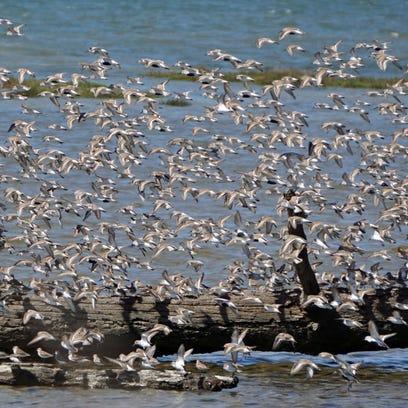 Grays Harbor festival captures shorebirds' performance
