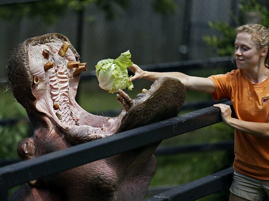 Henry the Hippo is fed by caretakers during his goodbye event at the Dickerson Park Zoo last year. The hippopotamus was moved to the Cincinnati Zoo and Botanical Garden. He has been sick for more than a month but recently felt well enough to rejoin his family, Bibi and internet sensation baby Fiona.