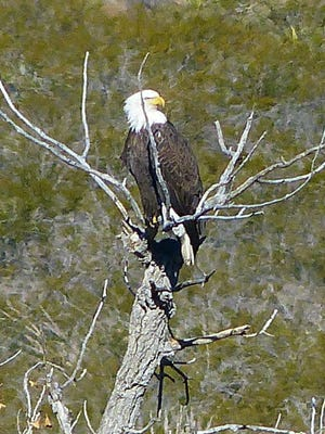 The Humane Society of the United States, Humane Society Wildlife Land Trust, and U.S. Fish and Wildlife Service are offering rewards of up to $7,500 for information related to the shooting of a bald eagle found in Pittstown.