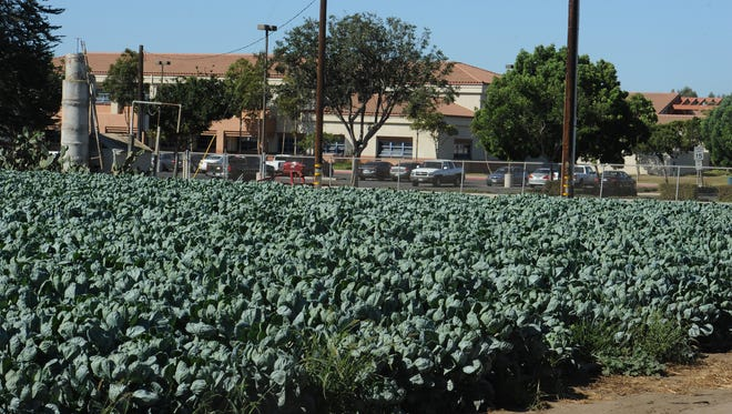 Brussels sprouts grow in field next to Oxnard High School on Gonzales Road.