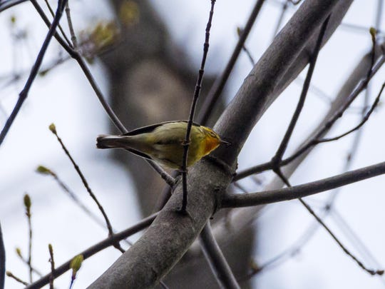 A Blackburnian warbler is spotted during Audubon Vermont's annual Birdathon fundraiser at the Green Mountain Audubon Center in Huntington on Thursday.