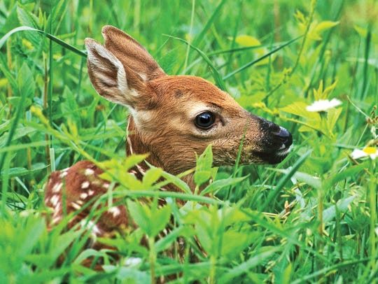 White-tailed fawn, Greene County