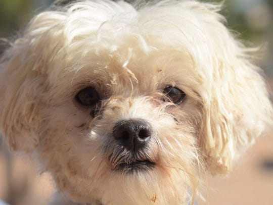 Lady Bug - Female poodle mix, about 2.5 years old.