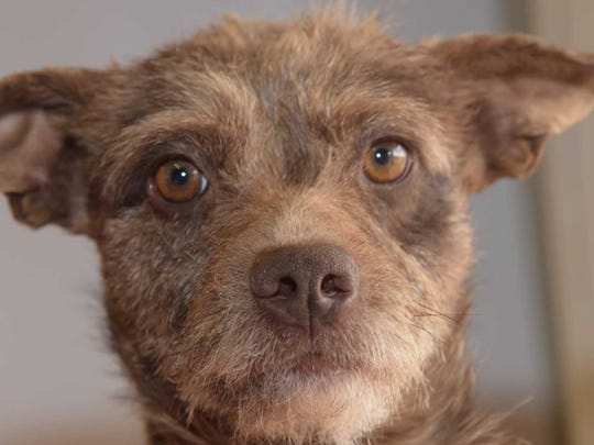 Marble - Female (spayed) terrier mix, about 3 years