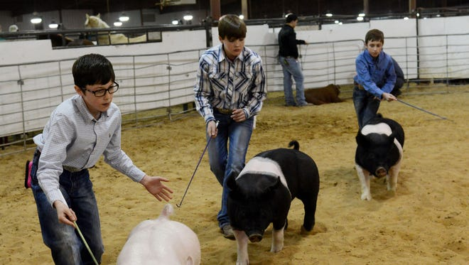 """Foreground to background: Cole Johnson, 11, Mason Welch, 11, and Cooper Johnson show their hogs during a showmanship competition at the Ike Hamilton Expo Center in West Monroe  Friday, January 15, 2016. Cole John's Hampshire gilt, which is a term for a female pig, is named Snow White. Cooper Johnson's Yorkshire gilt is named Girl. Welch's Hampshire bear, which is a term for a male pig, is named Prime after """"Optimus Prime."""" The expo goes on Saturday, January 16, 2016, from 9 a.m. to 4 p.m., with exhibits of livestock, farming equipment and other agricultural products."""