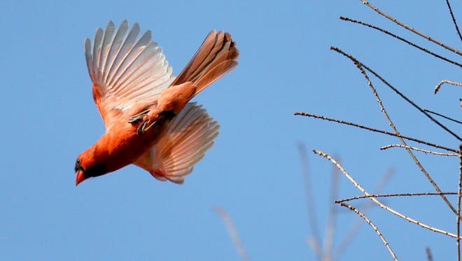 A northern cardinal sang and flew among the trees on Milwaukee's east side.