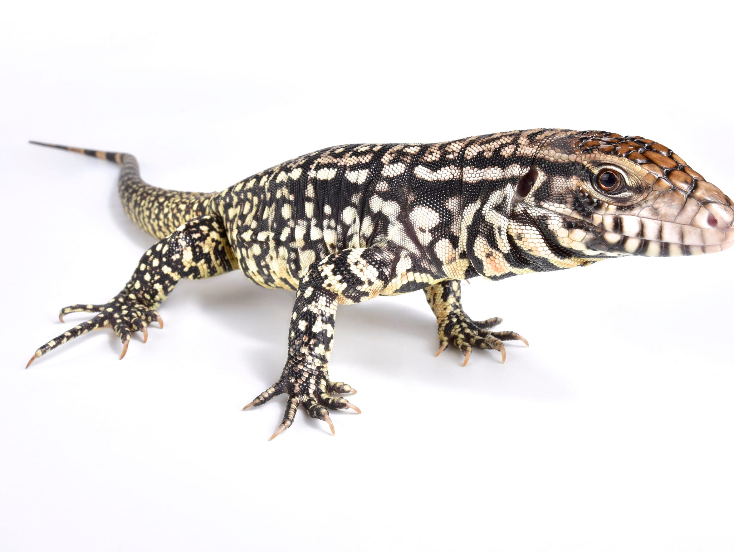 Argentine black and white tegu lizard
