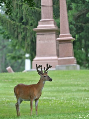 Deer enjoy the peace of Crown Hill Cemetery, Friday, June 30, 2017.