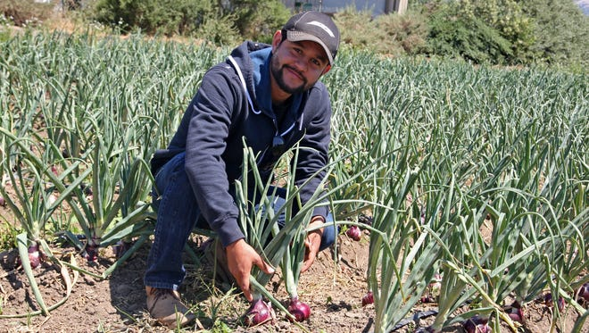 Manuel Cervantes shows off the purple onions he's growing during his first year at ALBA.