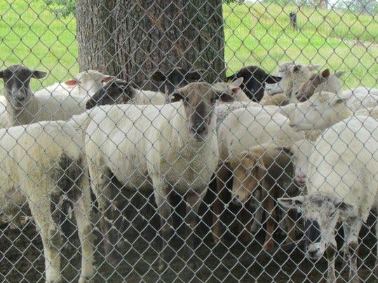 ELM 070615 LANDFILL SHEEP 01