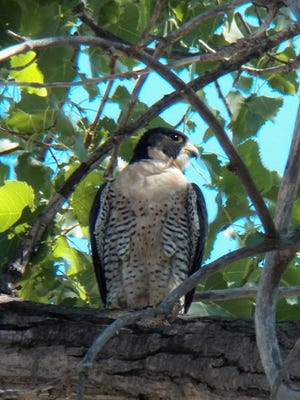 Genesee, a peregrine falcon born in Rochester in 2015, was struck by a car and killed on Jan. 7, 2017.