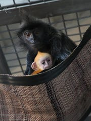 Silvered leaf langurs are moved from the clinic to