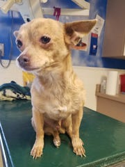 Four Chihuahuas were found barely alive in Phoenix, including this one. Their owner was arrested.