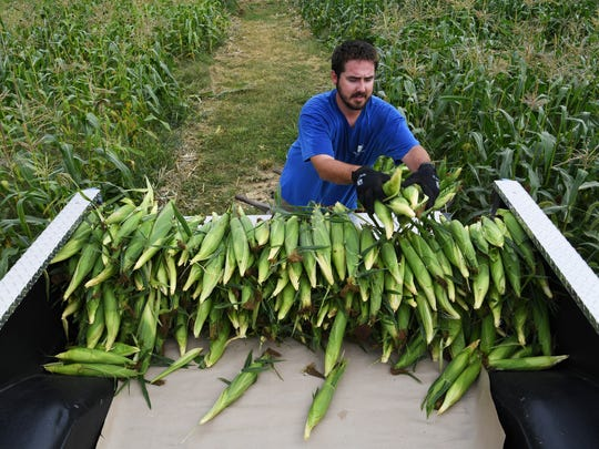 Larry Durchholz Jr. loads sweet corn into the bed of