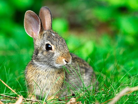 There is an ongoing tularemia outbreak in rabbits in