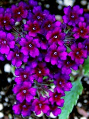 The intensely purple flowers of Verbena 'Lascar Black Velvet' draw stares.