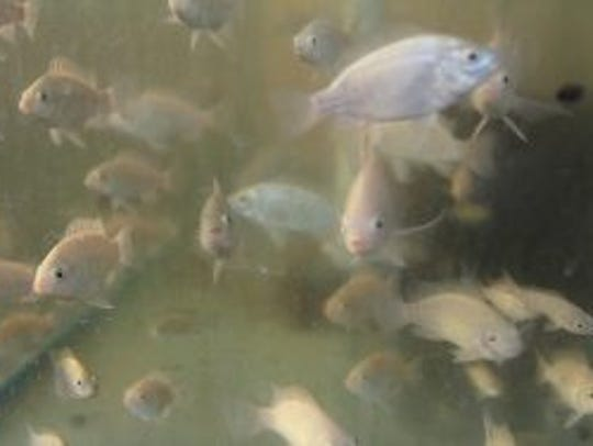 Young tilapia stay in the hatchery, which is an old
