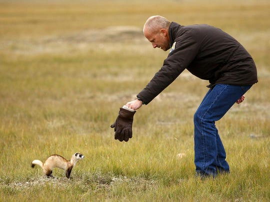 John Hughes, a wildlife biologist with U.S. Fish & Wildlife Service, tries to get a female black-footed ferret to steer it toward a prairie dog hole where it is being released on the Fort Belknap Reservation.