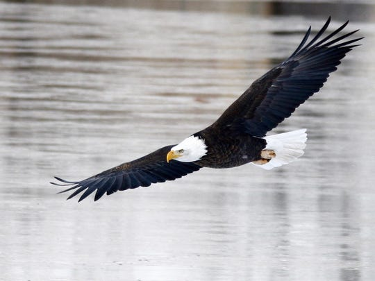 A bald eagle flies over the Missouri River near Oddfellows