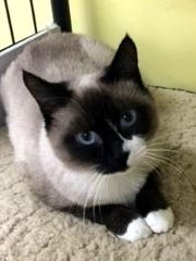 Kit Kat is an adult, female snowshoe Siamese who was