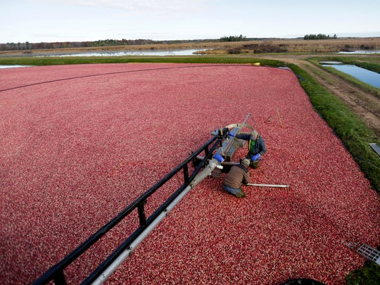 The marsh is alight with glistening cranberries as workers prepare equipment for the last day of harvest, October 21, 2016.