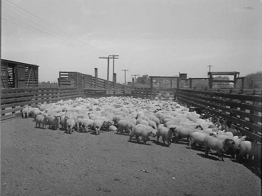 A roundup of the Dobson sheep herd near Elliot Road and the railroad tracks east of Arizona Avenue in the early 1960s.