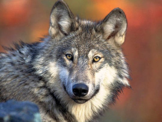 In this April 18, 2008, photo, provided by the U.S. Fish and Wildlife shows a gray wolf.