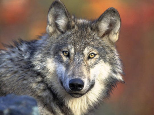 The U.S. Fish and Wildlife Service is accepting comments on delisting gray wolves from the Endangered Species List through Monday, July 15. Comments can be submitted online at www.fws.gov/home/wolfrecovery/.