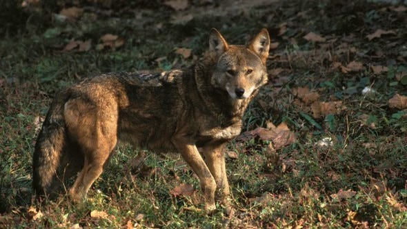 """Do you think you've seen red wolves prowling Missouri? MDC is presenting a program that explores mysterious creatures people """"swear"""" they've seen. Misconceptions and Strange Missouri Critters will take place this Friday, Aug. 14 from 6-7 p.m."""
