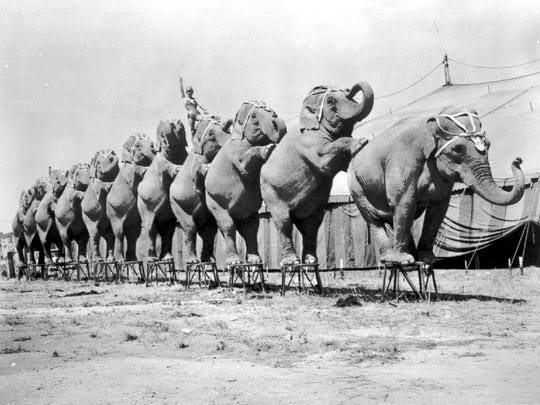 The elephants were the kings of the circus animals, intelligent and always popular with fans.  Here they seen performing in a local circus.