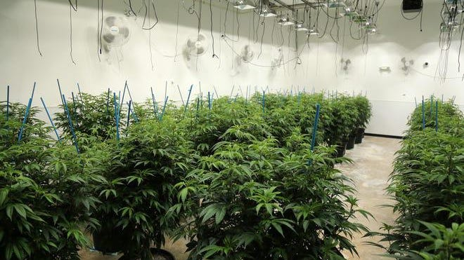 A grow room containing marijuana plants at Ohio Clean Leaf in Dayton