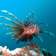 Pensacola group wants to ease restrictions on local divers selling lionfish out of state