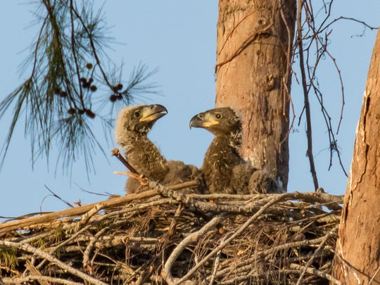 The chicks before being evicted from the nest by a new adult male. The two eaglets hatched by Marco eagles Paleo and Calusa have been relocated to the von Arx Wildlife Hospital at the Conservancy in Naples after Paleo, the father, was killed by an electric wire. Photo © copyright by Jean Hall
